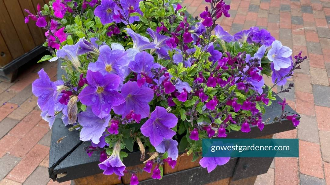 Colorful purple petunias and purple salvia in a large flower container in a mountain village.