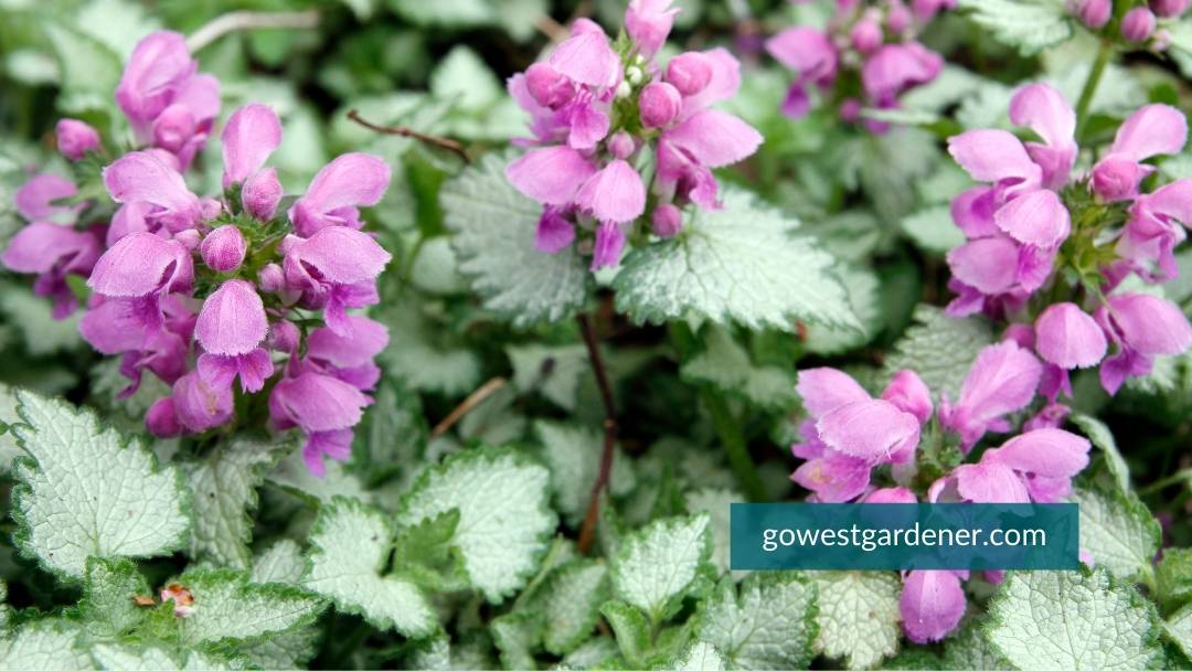 Lamium is a pretty perennial for flower pots because of its white leaves. They had visual interest to pots.