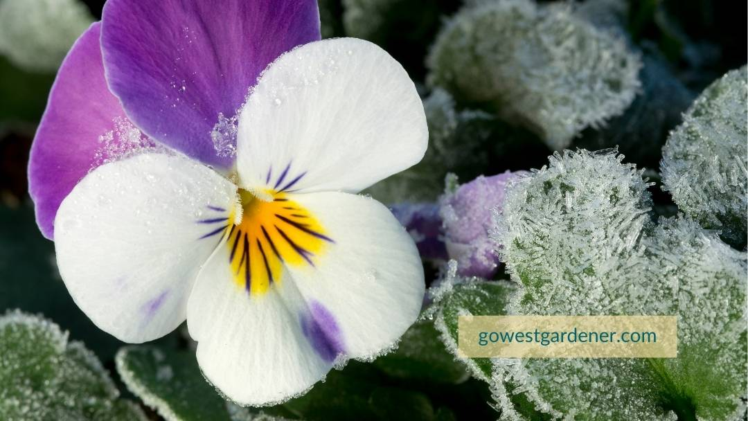 Pansies and violets are frost-tolerant flowers, making them good for mountain planters.