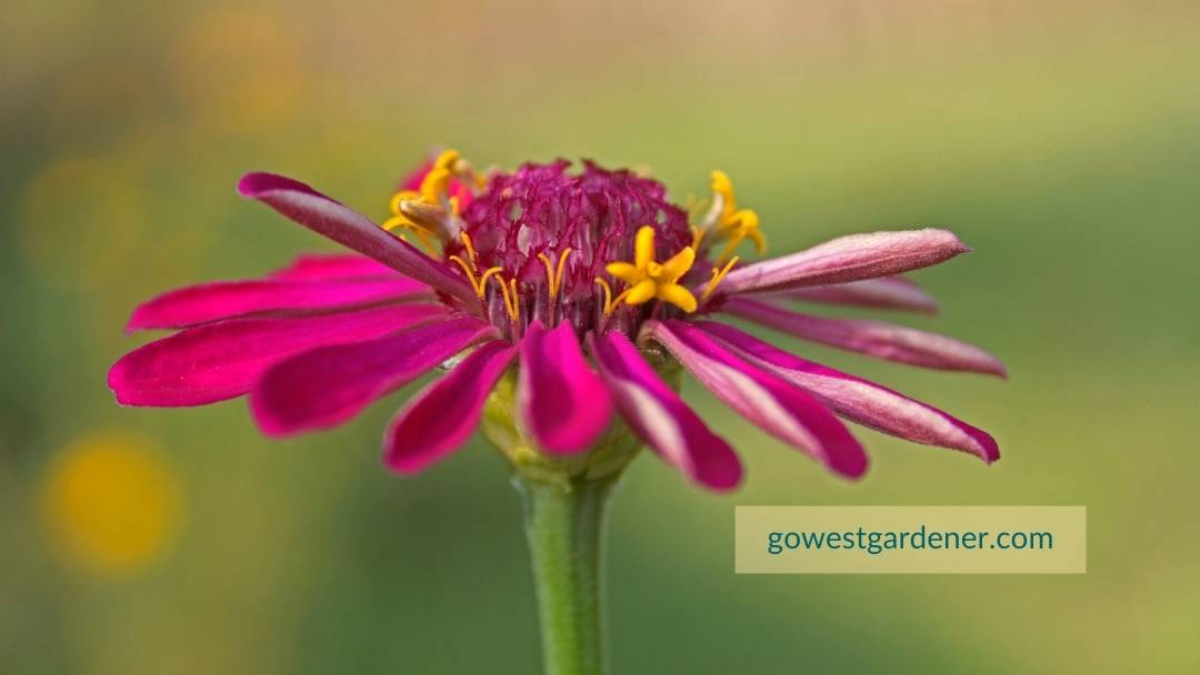 ZInnias are flowers that love the heat. They are heat-tolerant annuals.