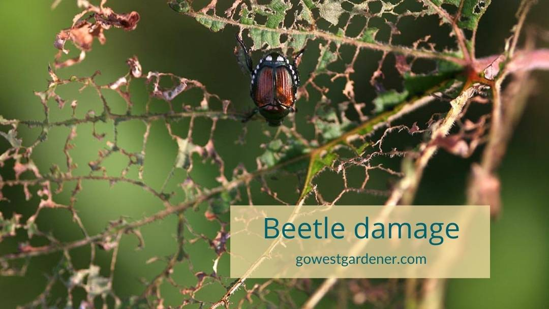 This is what Japanese beetle damage looks like - they turn flowers and plant leaves into lacey skeletons