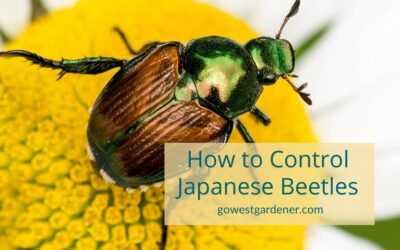 VIDEO: Japanese Beetles In Colorado & How to Control Them