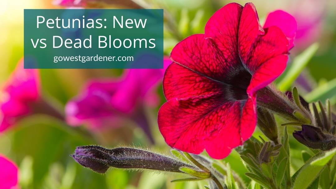 How to tell the difference between new buds and dying blooms on petunias, so you know what to deadhead