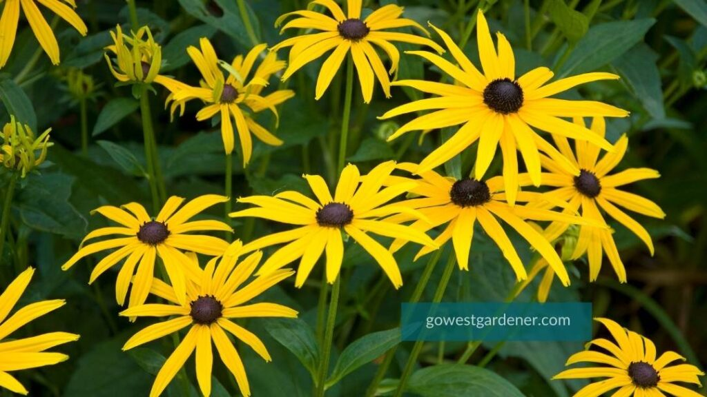 Black Eyed Susan, aka Rudbeckia, is one of the best late summer flowers for Colorado and Utah gardens