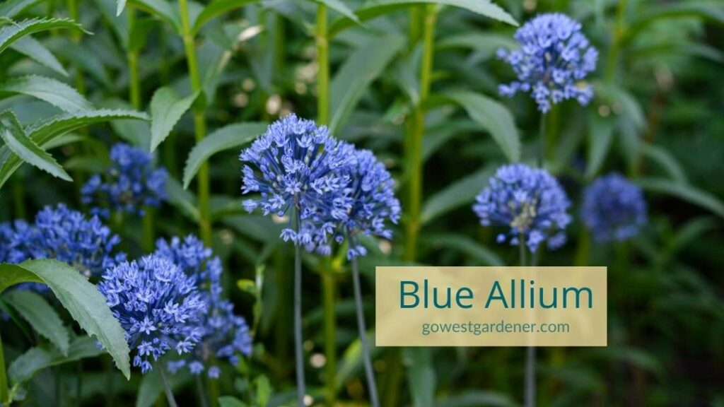 Blue allium flowers add a hint of whimsy to your garden and such fun, round shapes!