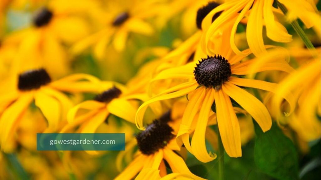 Rudbeckia (commonly known as Black Eyed Susan or Gloriosa Daisy) has bright gold flowers and brown or black centers