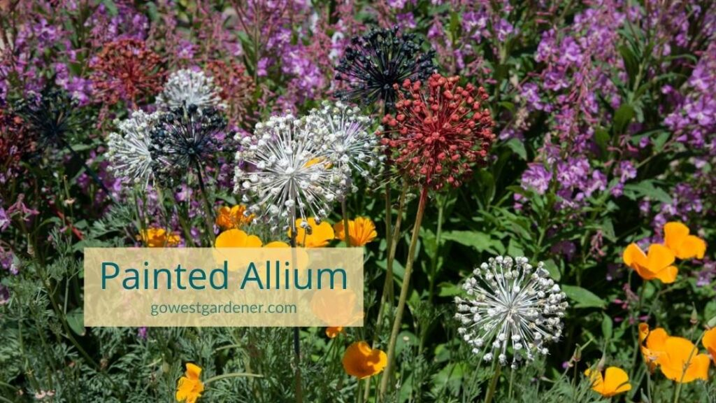 Painted allium: After allium stop blooming, you can spray paint the blooms