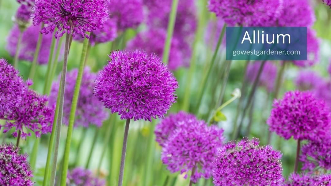 Purple allium are spring flowers that look like round balls