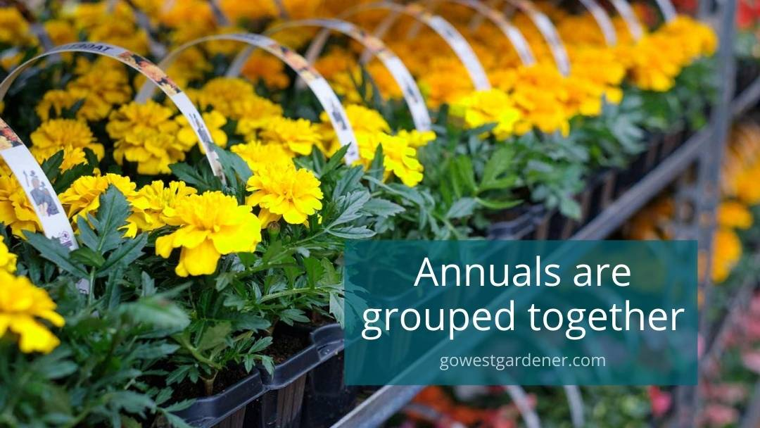 Garden center tip: Annuals are usually grouped together in one section, like these yellow and orange marigolds