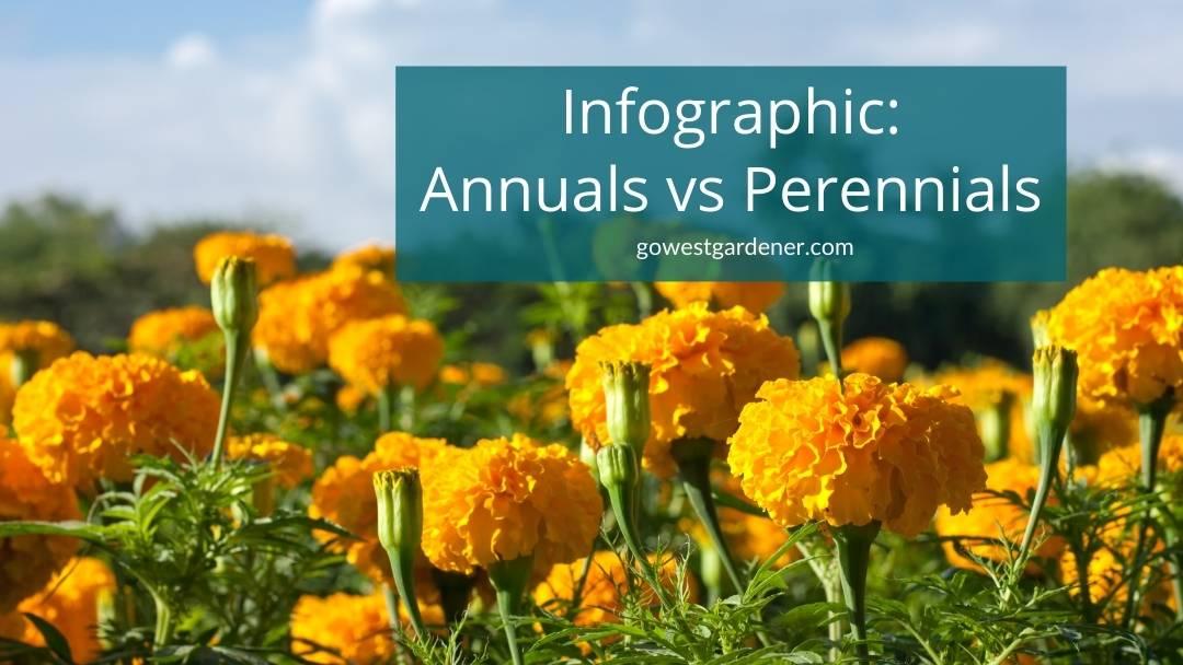 Bright orange marigolds are an annual in Colorado versus a perennial