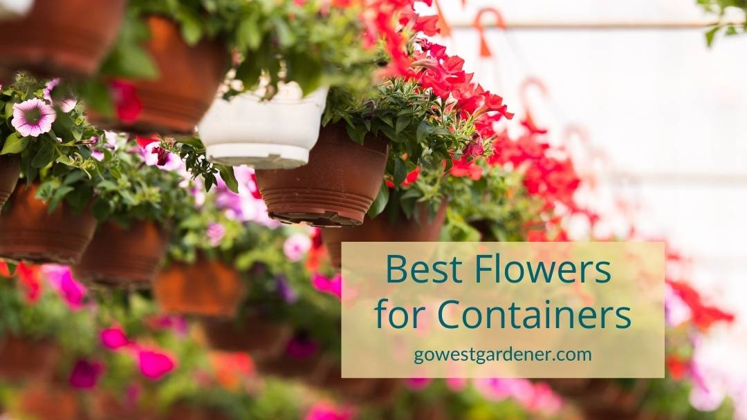 In this video we explore, what are the best flowers for containers in Colorado and Utah?