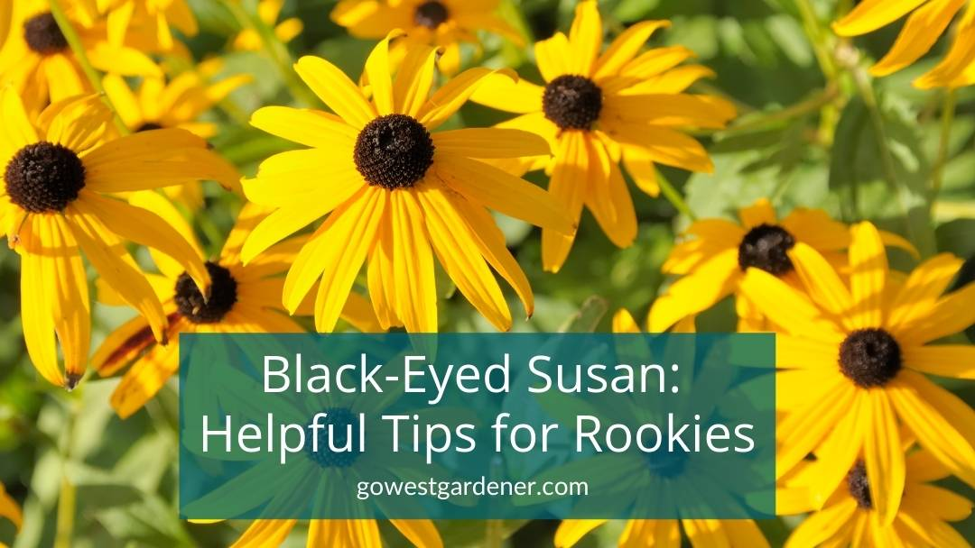Black-Eyed Susan, aka Rudbeckia, is an easy-to-grow flower for late summer in Colorado and Utah