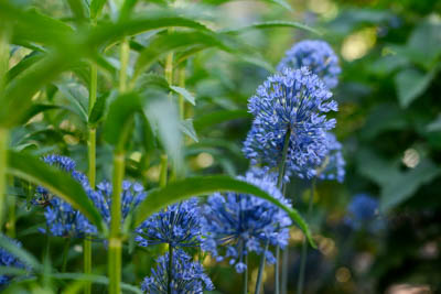 Blue allium is a flower that blooms in the late spring in Colorado