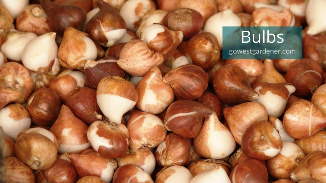 This is what tulip bulbs look like
