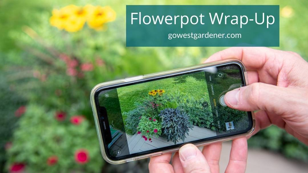 Camera phone taking photos of beautiful flowers in container garden