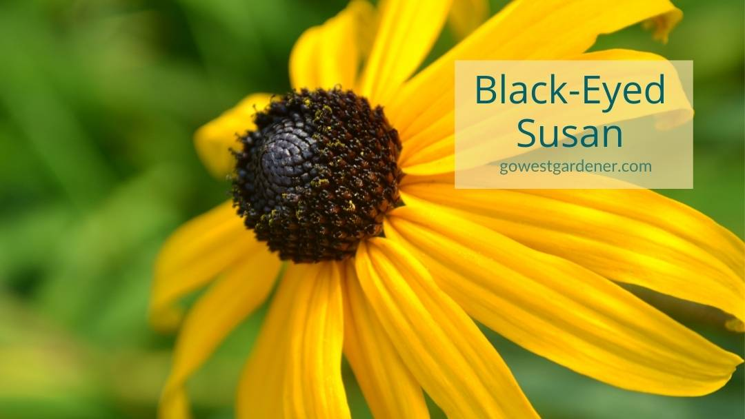 Close-up photo of Black-Eyed Susan, a yellow or gold flower that looks like a daisy with a brown, black or green center