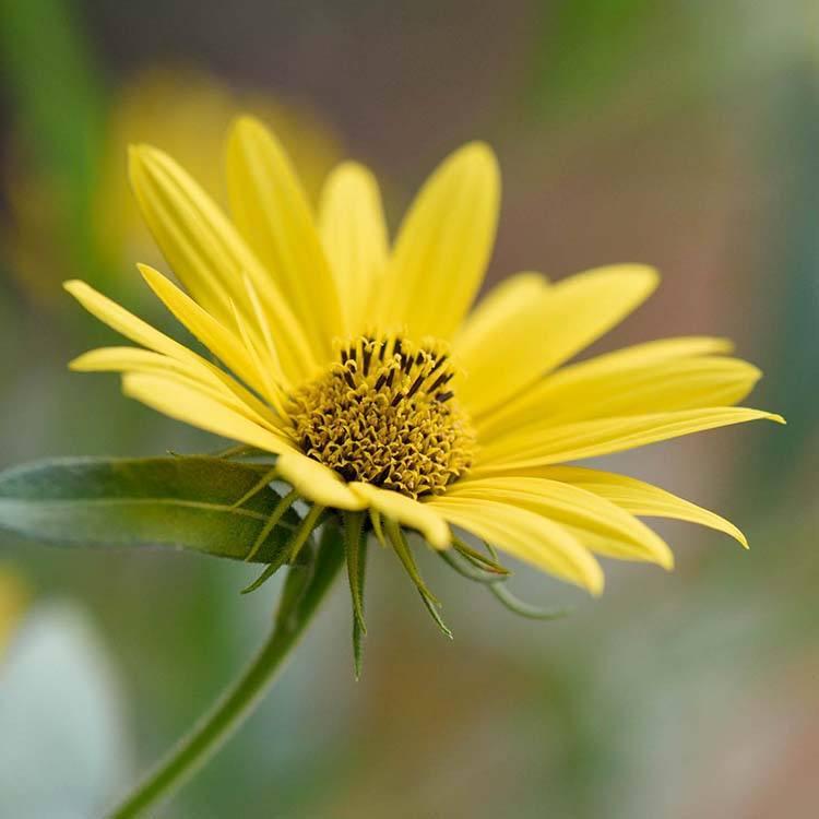 Helianthus 'Dakota Sunshine'