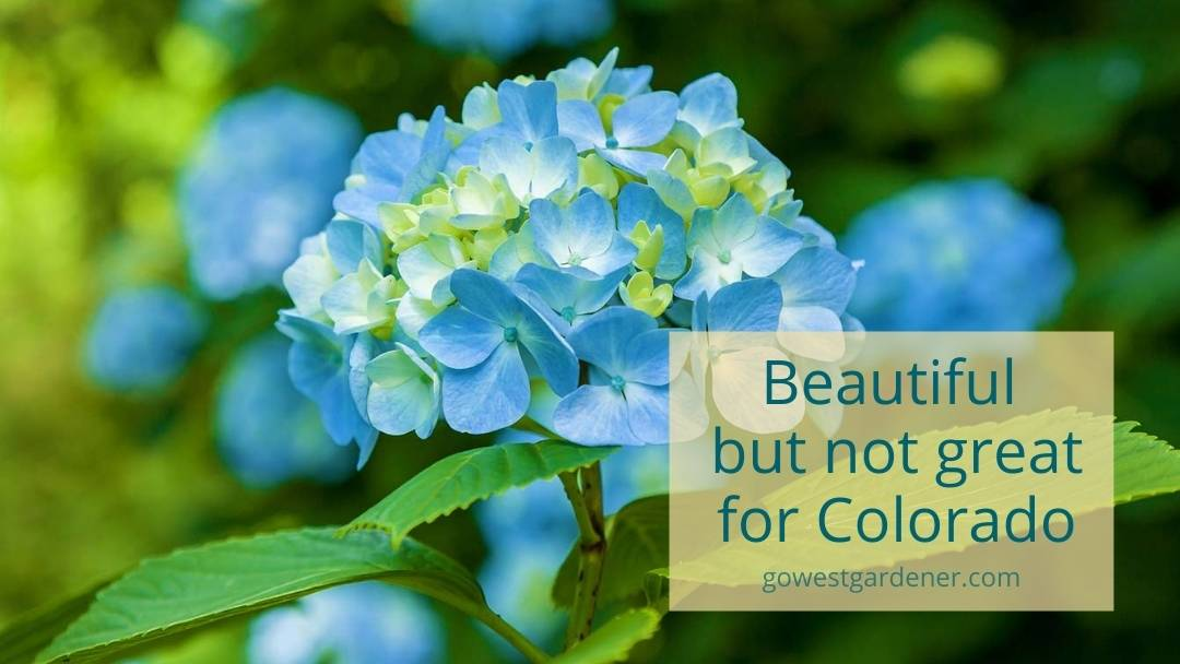 Many hydrangea don't grow as well in Colorado, including this Endless Summer Hydrangea.