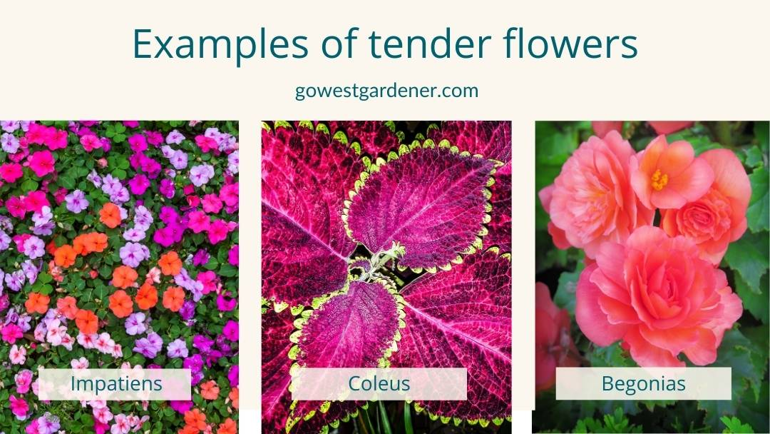 Examples of tender flowers in Colorado that prefer shade, like impatiens, new guinea impatiens, coleus and begonias