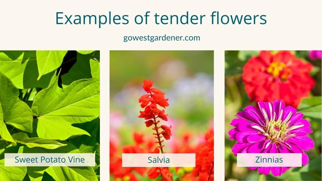 Examples of tender flowers in Colorado that prefer sun, like sweet potato vine, salvia and zinnias