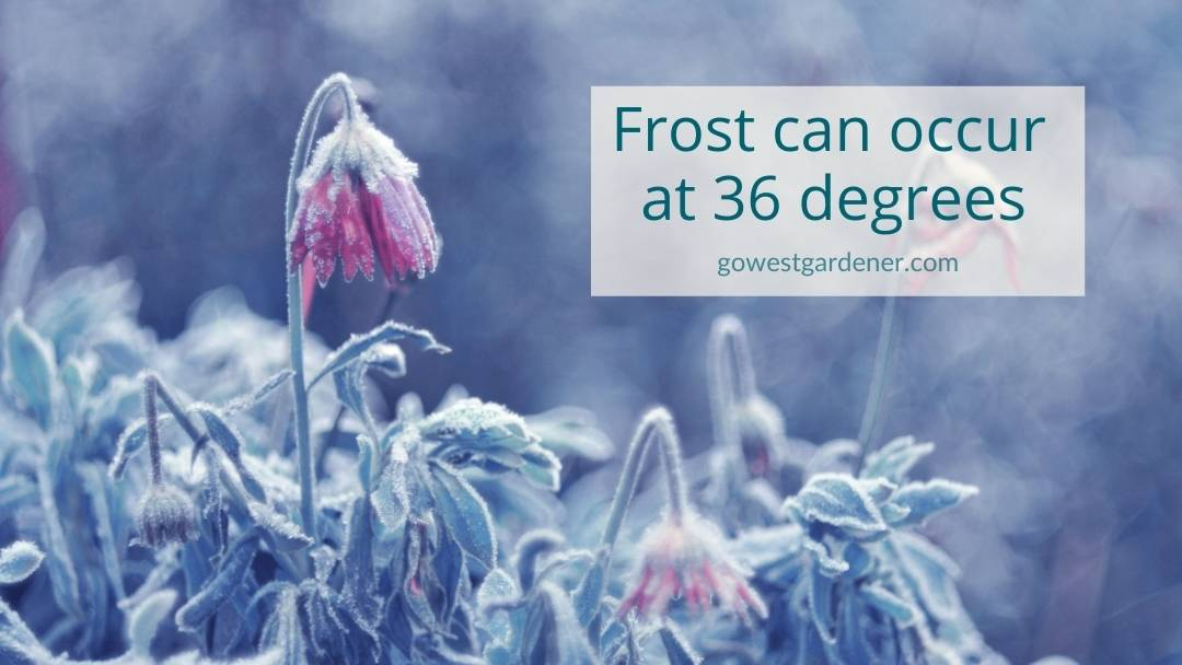 You can get frost on your flowers when the temperature drops to 36 degrees and below