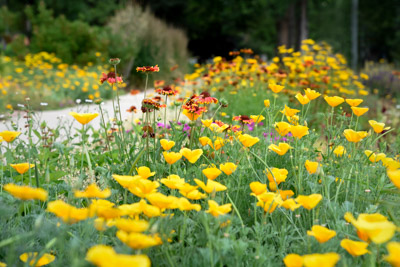 California poppies and blanket flower add color to Colorado gardens in the late spring and summer