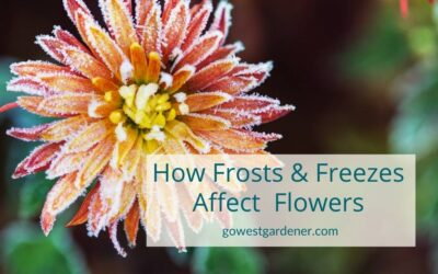 How Frosts and Freezes Affect Your Flowers
