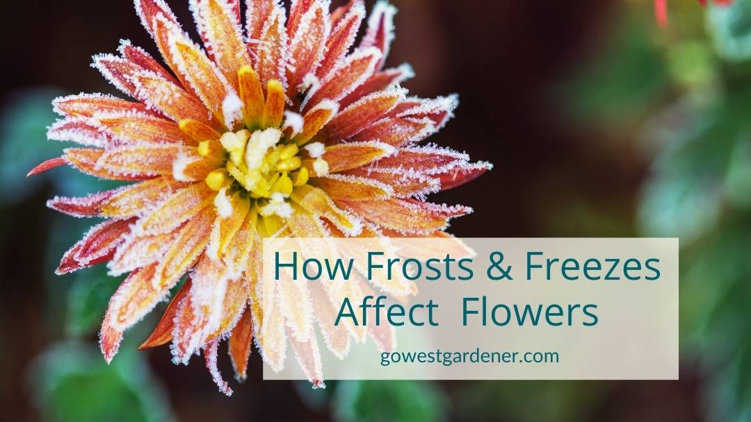 How frosts and freezes affect annuals, like this flower with frost on it
