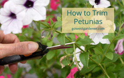 VIDEO: How to Trim Petunias to Keep Them Looking Pretty