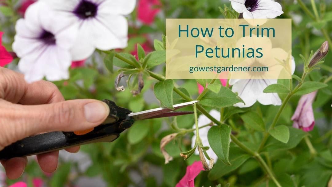 How to properly deadhead petunias