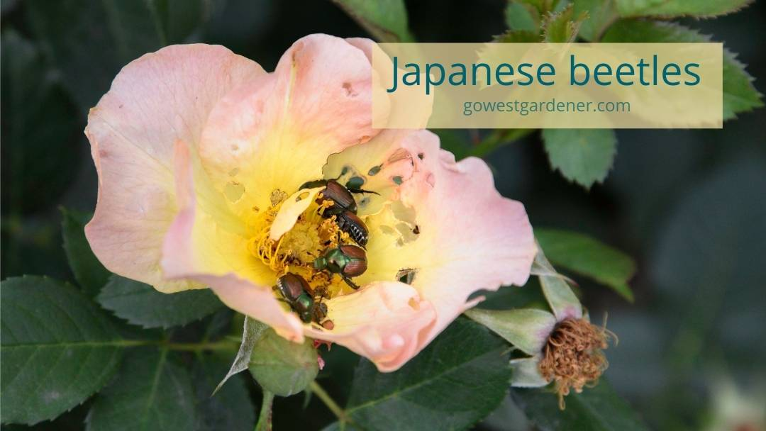 What do Japanese beetles look like? Close-up of metallic green beetles chewing a rose