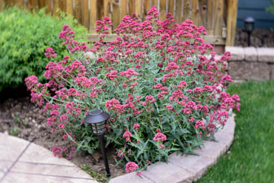 Jupiters Beard is a drought tolerant perennial for Colorado