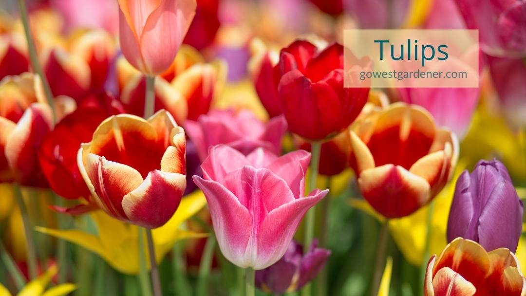 This is what colorful tulips look like -- they come in many pretty colors