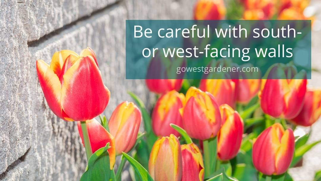 Design tip for bulbs: Be careful planting them along walls or fences because they may want to emerge early in the spring