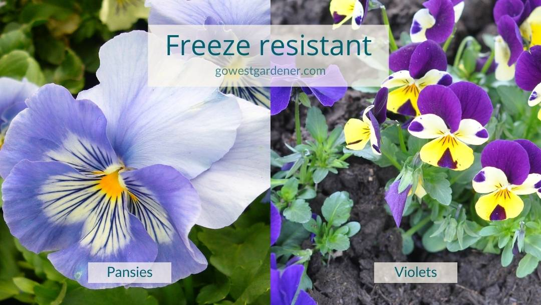 Pansies and violets are cold-tolerant flowers that are resistant to freezing temperatures