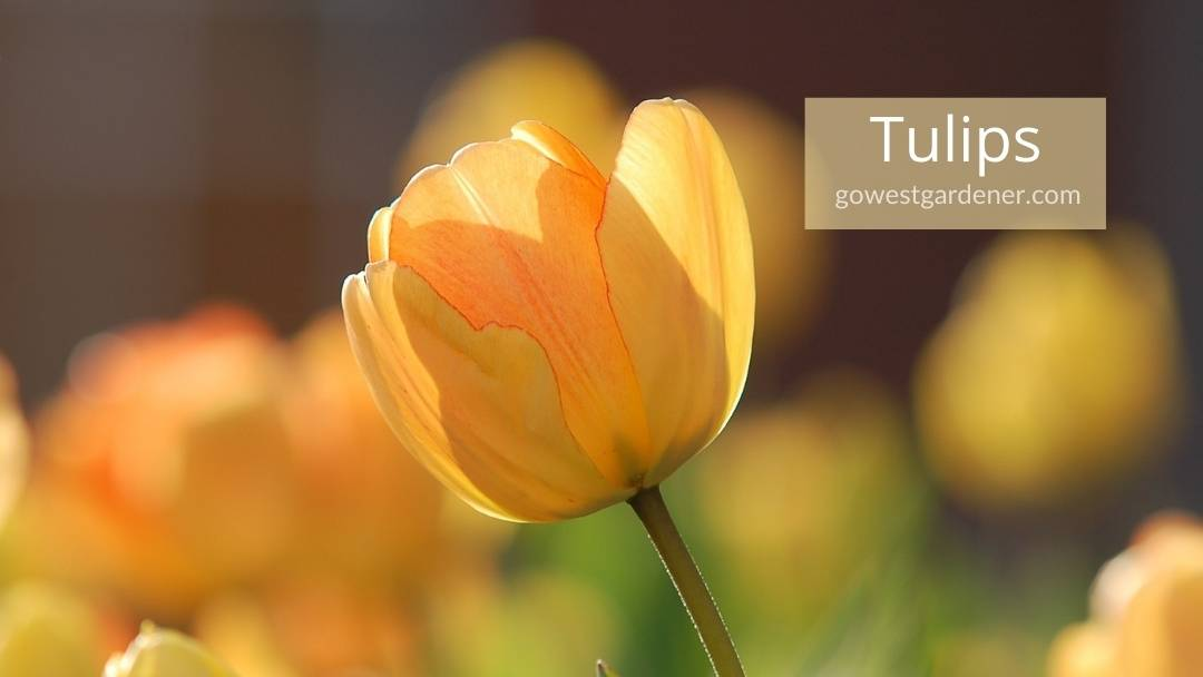 A tulip is a pretty spring flower for western states like Colorado and Utah