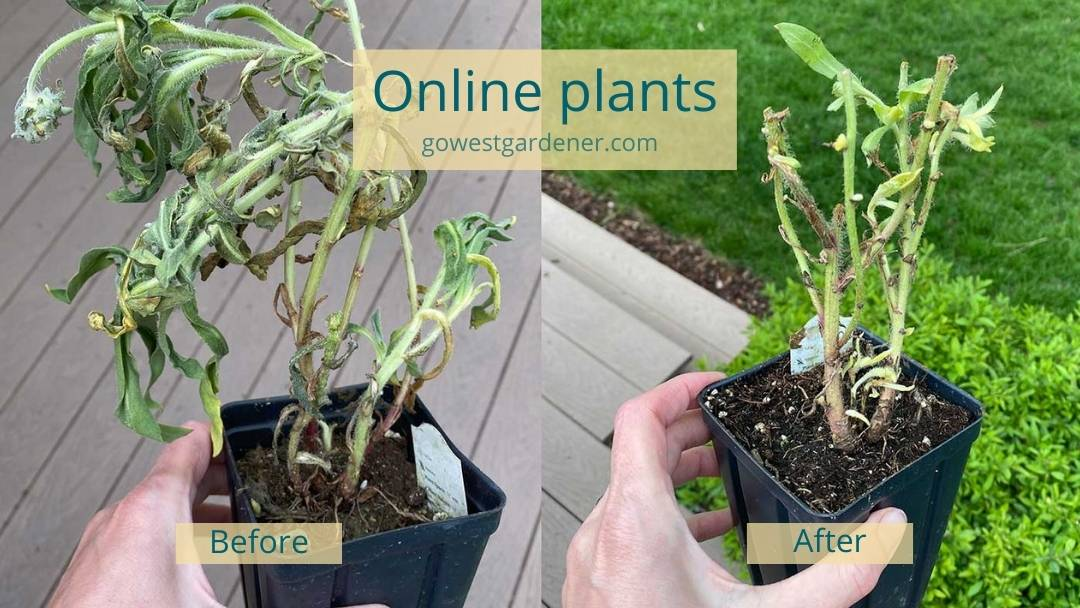 Before and after image of a flower plant from an online plant store