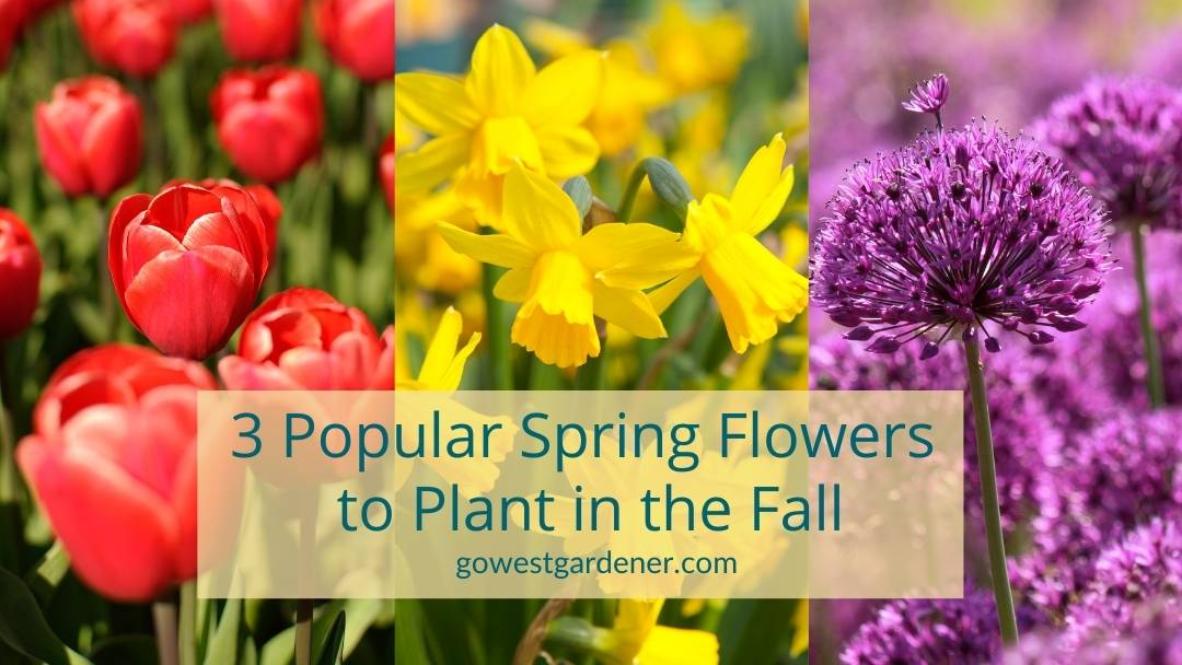 Tulips, daffodils and allium: Three of the best spring flowers for Colorado and Utah gardens that you plant in the fall as bulbs