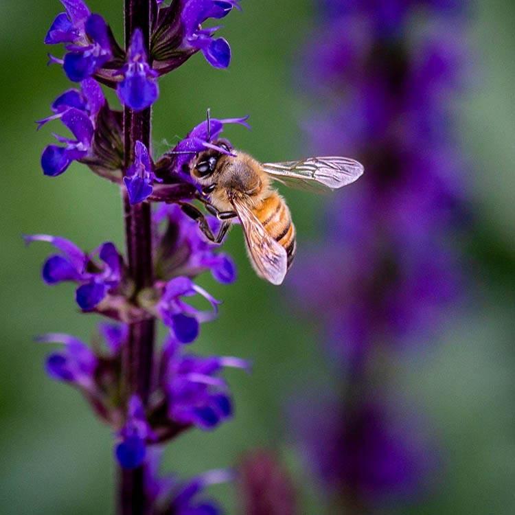 Bee gathering nectar from purple salvia
