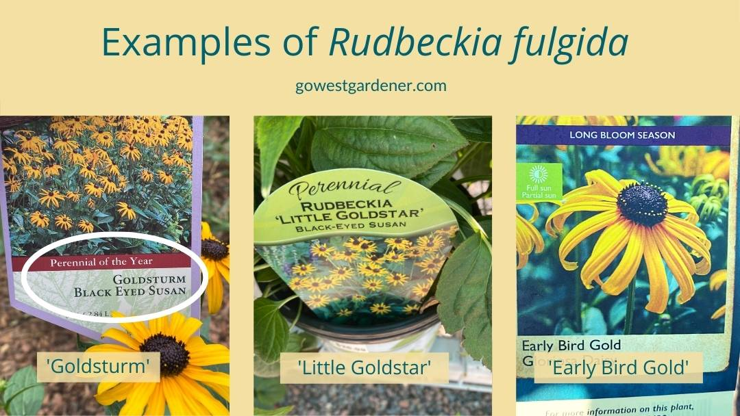 Examples of Rudbeckia Fulgida: Goldsturm, Little Goldstar and Early Bird Gold