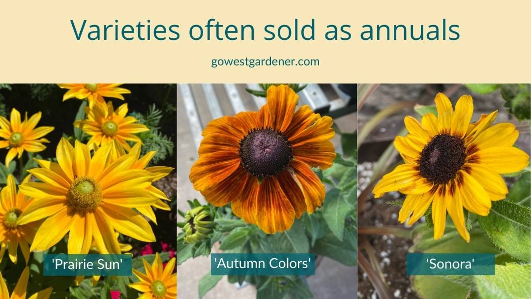 Examples of varieties of Black-eyed Susan (Rudbeckia hirta) often sold as annuals: Prairie Sun, Autumn Colors, Sonora