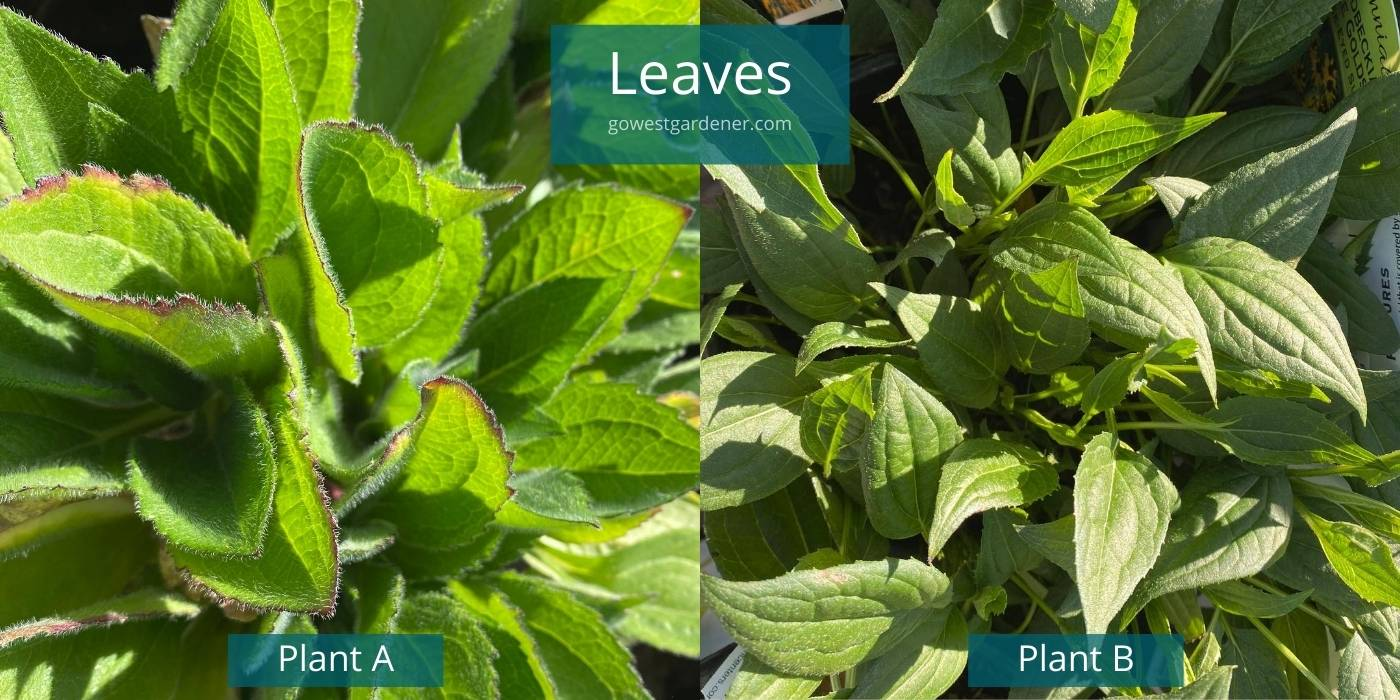 Fuzzy leaves on the Black-Eyed Susan biennial vs smooth leaves on the Black-Eyed Susan perennial