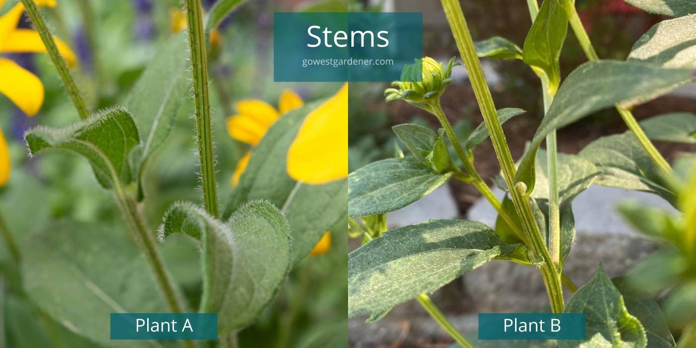 Biennials vs perennials: Comparing the fuzzy stem on Rudbeckia hirta vs smooth stem on Rudbeckia fulgida