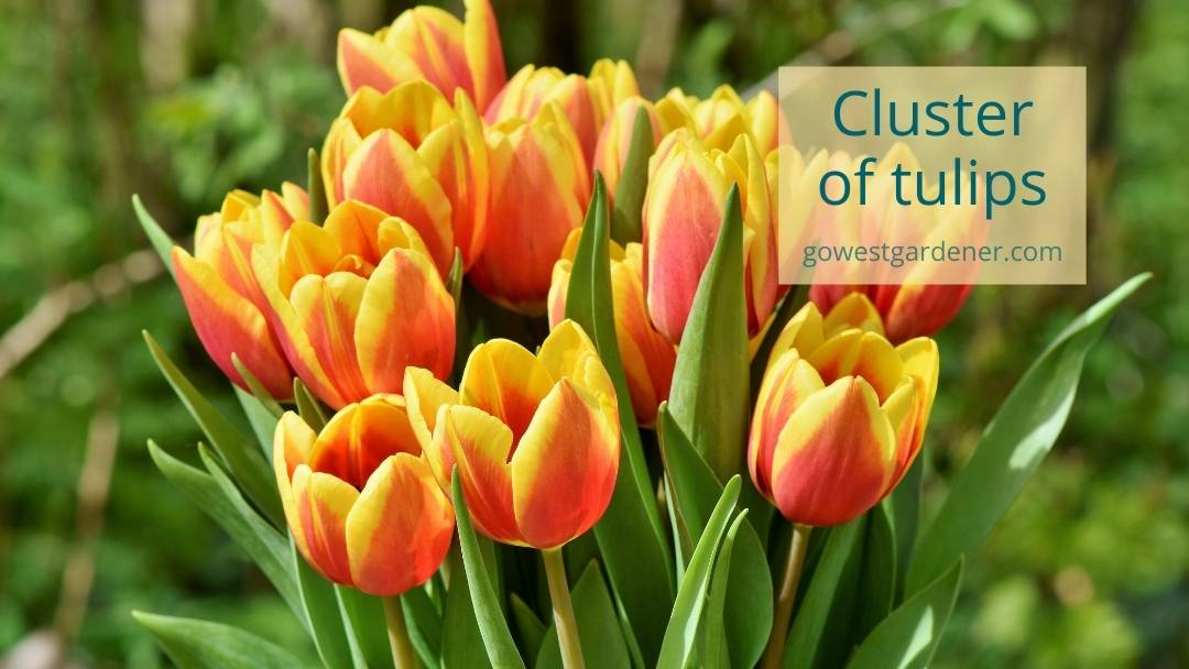 Pretty, yellow and red tulips planted in a cluster or clump for bigger impact