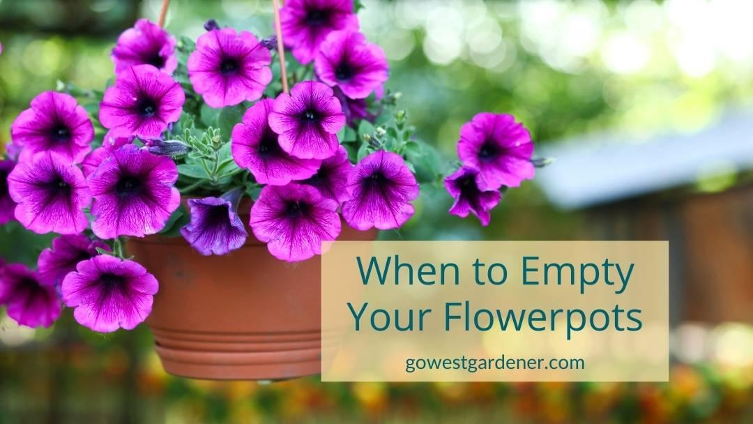 When should I empty my flowerpots, like these purple petunias?