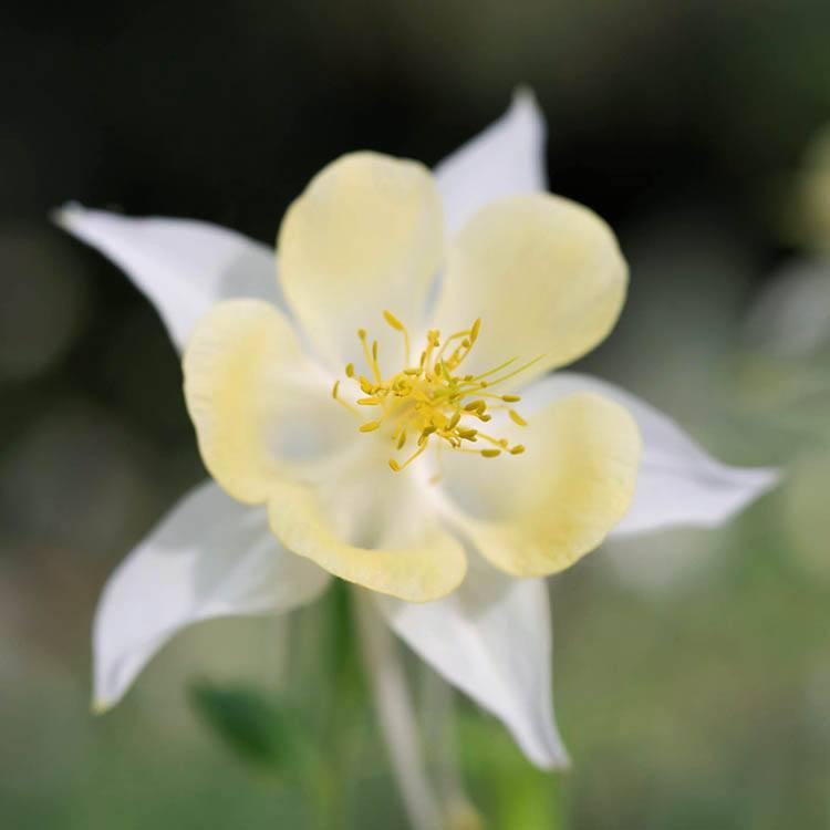Yellow and white columbine flower