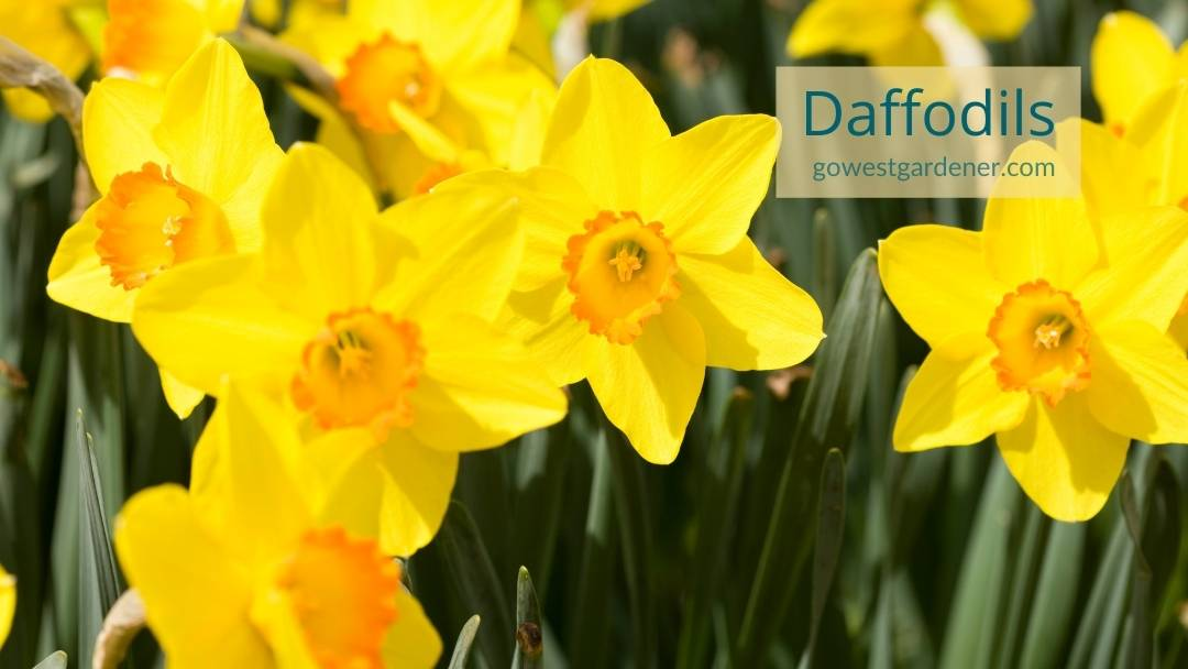 This is what yellow daffodils look like