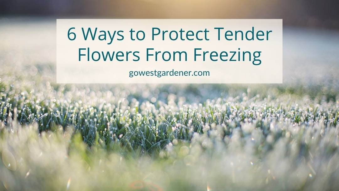 How to protect tender flowers from freezing - tips for rookie western gardeners