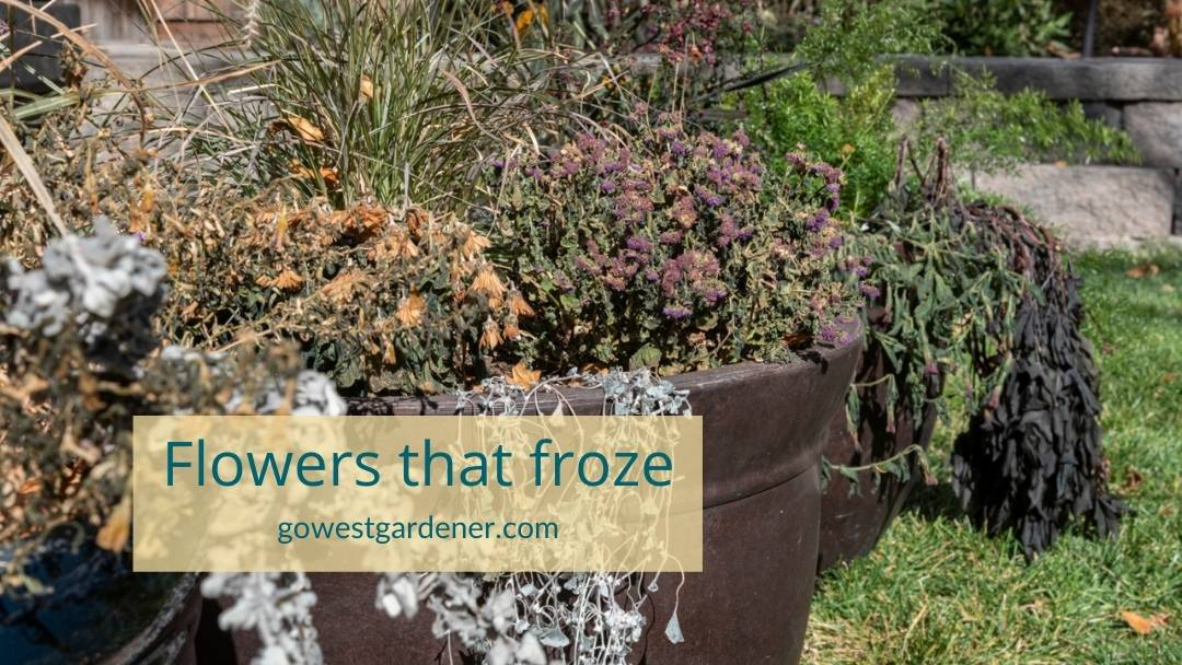 Dead flowers in a pot - these flowers froze and have freeze damage