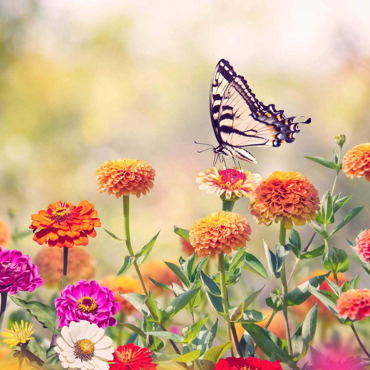 A swallowtail butterfly rests on a container garden of colorful zinnia flowers
